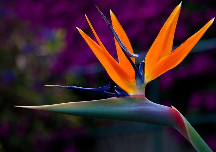 Fiore uccello del paradiso