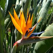 strelizia fiore
