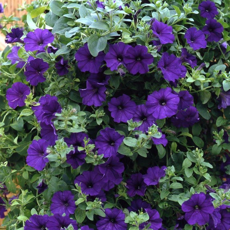 Piante Surfinie : Surfinia piante da giardino coltivazione surfinie