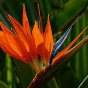 Foglie e fiore della pianta Uccelli del paradiso
