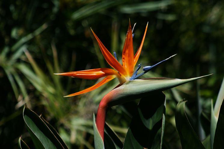 Fiore colorato di Strelitzia