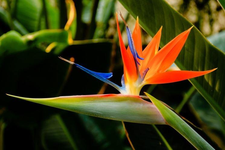 Uccelli del paradiso, fiore