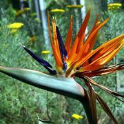 uccello del paradiso fiore
