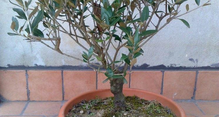 pianta d'ulivo in vaso