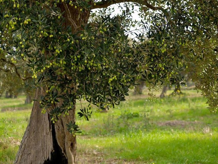 pianta d'ulivo