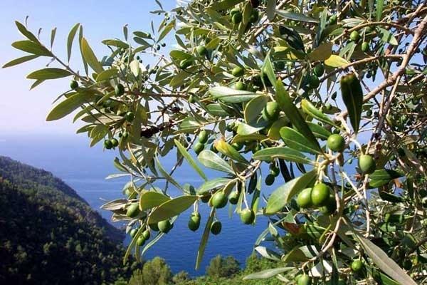 Ulivo pianta piante da giardino pianta di ulivo - Giardino con ulivo ...