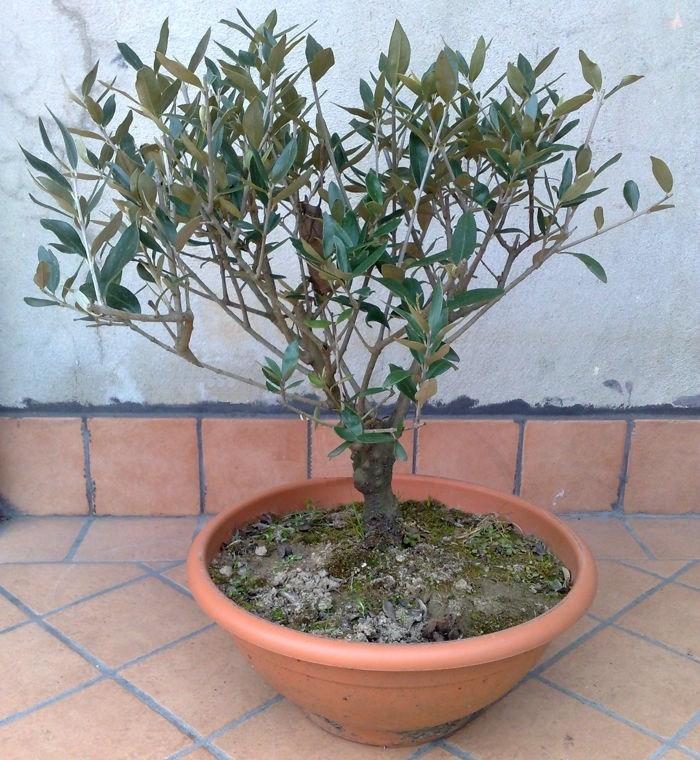 Ulivo pianta piante da giardino pianta di ulivo for Bonsai di ulivo