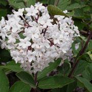 Un esemplare di Viburno in fiore