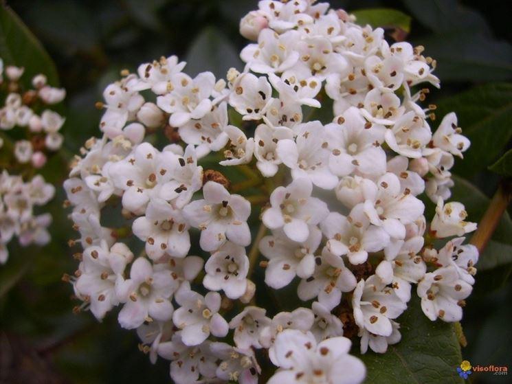 Particolare dei fiori di Viburnum Tinus