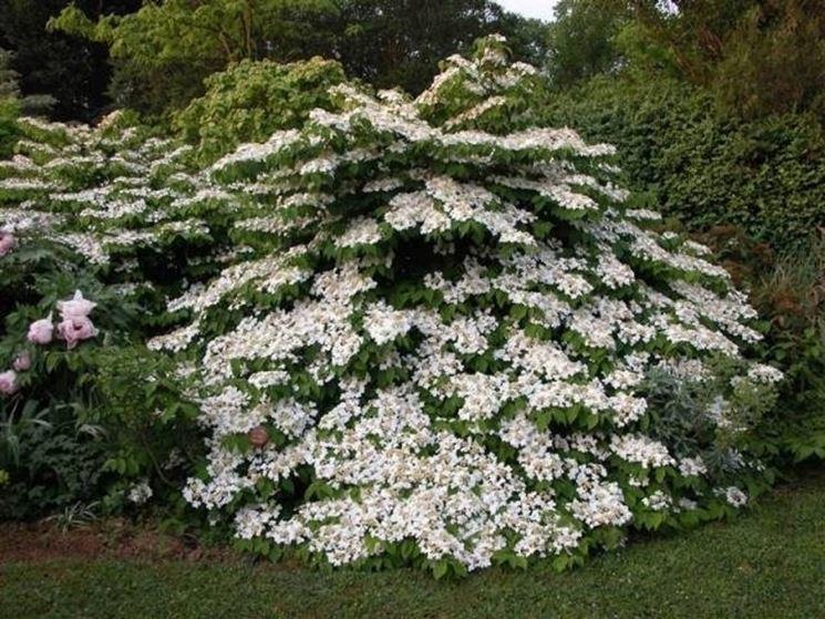 Viburni piante da giardino caratteristiche del viburno for Cespugli fioriti da giardino