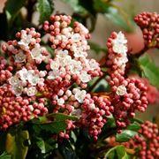 Fiori e bacche del viburno rosso