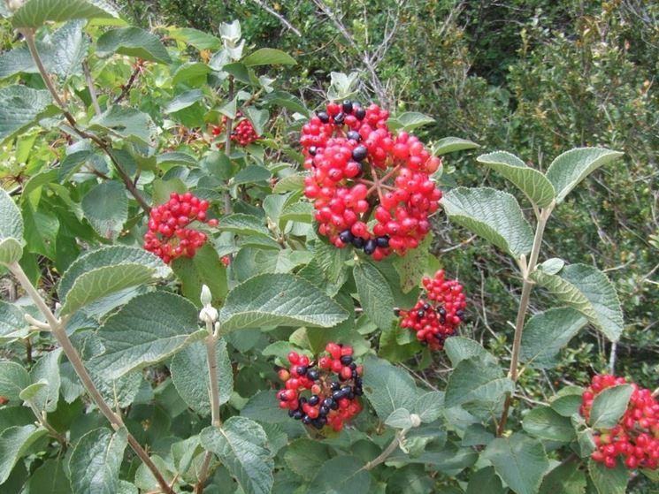 Frutti di Viburnum lantana