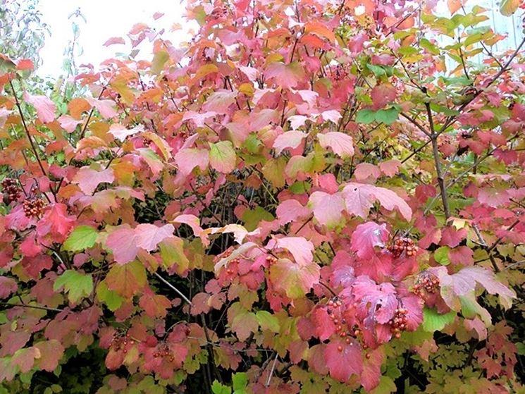 Il fogliame del viburnum opulus che assume una colorazione rossa in autunno