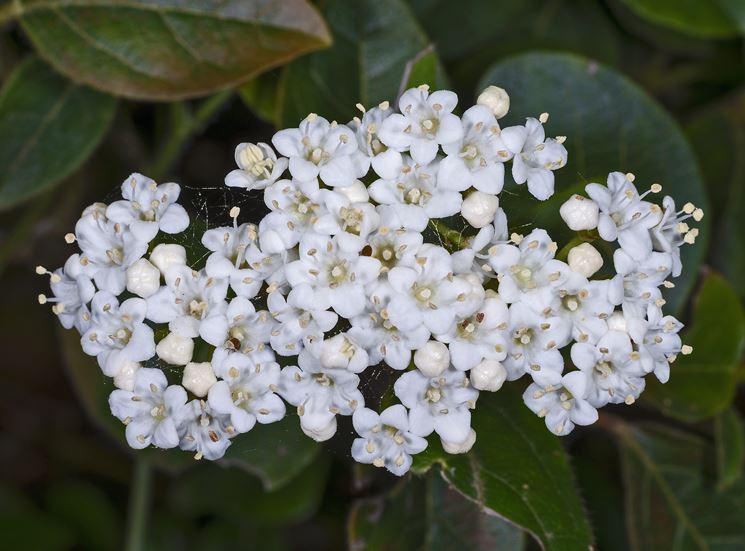 Tipici fiori del viburnum tinus