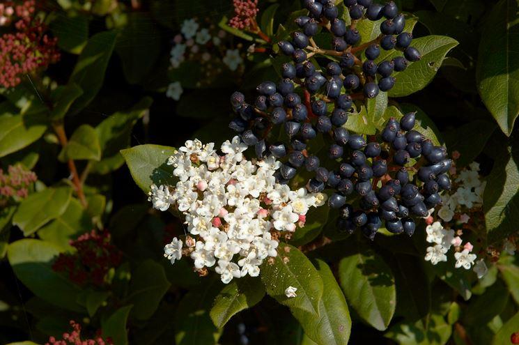 I nocivi frutti del viburnum tinus
