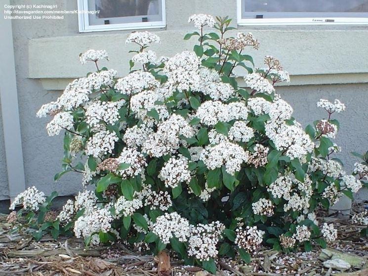 Arbusto di viburnum tinus in fiore