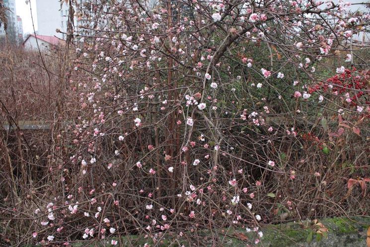 Fioritura invernale di Viburnum fragrans