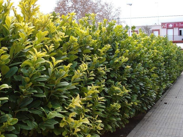 Viburnum piante da giardino caratteristiche del viburnum for Pianta pistacchio prezzo