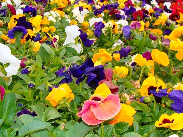 Viole fiori