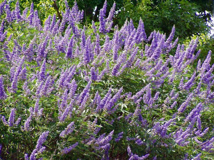 Foglie e fiori di Vitex agnus castus