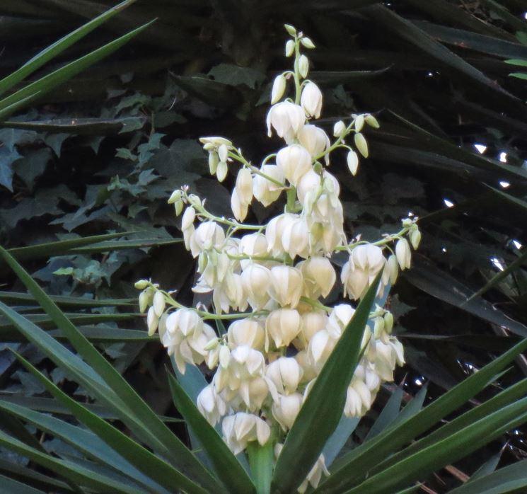 Fiori yucca