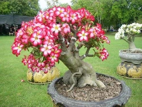 Adenium piante grasse for Rosa pianta