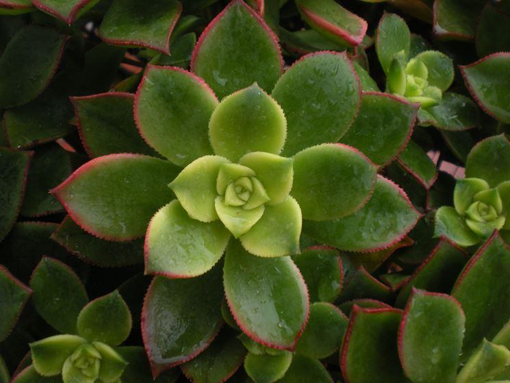 Foglie pianta aeonium