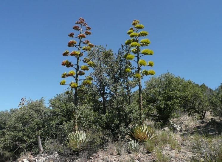 Voluminose infiorescenze di agave sisalana