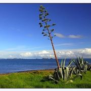 pianta simile all agave