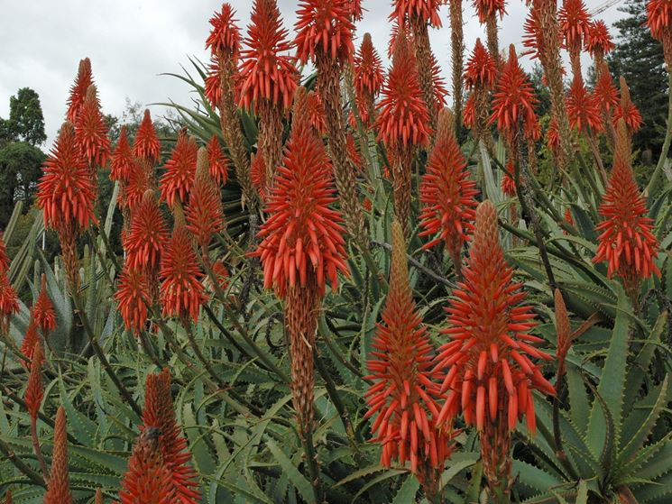 Frutti dell'Aloe Arborescens