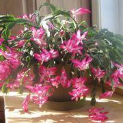 Pianta di cactus di Natale