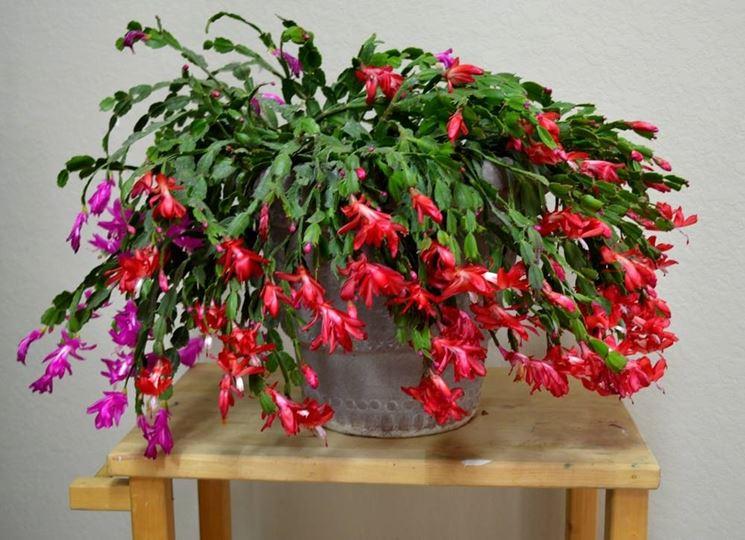 Varietà di cactus di Natale