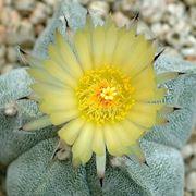 Esemplare in fiore di Astrophytum myriostigma
