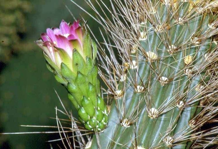 Fiore della pianta grassa di Browningia