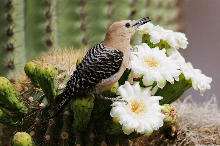 fiori di cactus saguaro