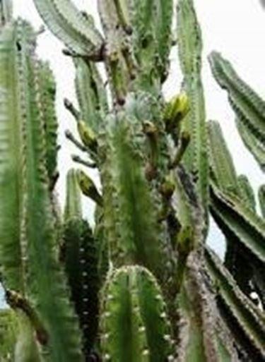 Cereo piante grasse - Piante alte da giardino ...