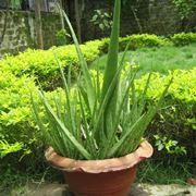 Aloe barbadensis miller, o Aloe Vera