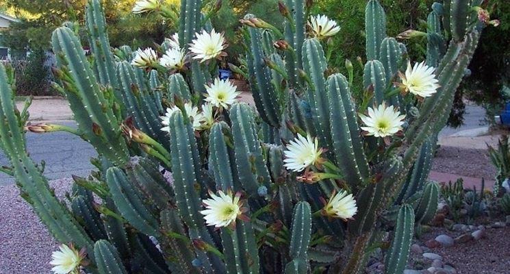 Il Cactus Cereus hilmannianus