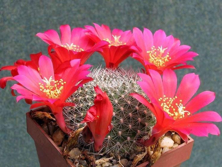 Il Cactus Rebutia wessneriana