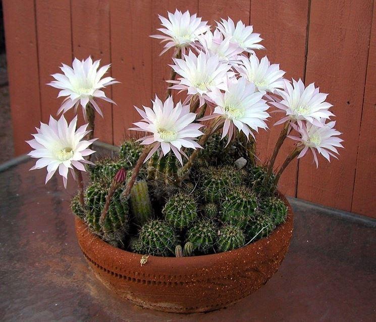 Il Cactus Echinopsis oxygona