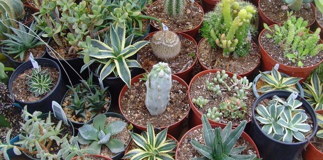 <h6>Concimazione piante grasse</h6>Le piante grasse si adattano a vivere anche nei terreni pi� poveri, ma con una corretta concimazione possono offrire fioroiture e un aspetto pi� sano e forte