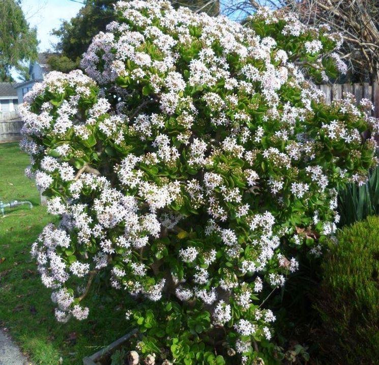 Crassula arborescens in fiore