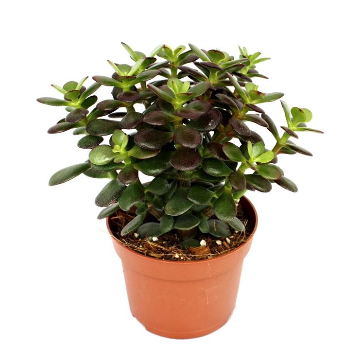 Pianta di Crassula portulacea minor in vaso