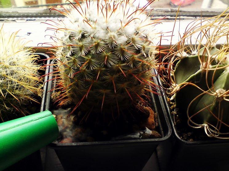 Innaffiamento di una pianta grassa