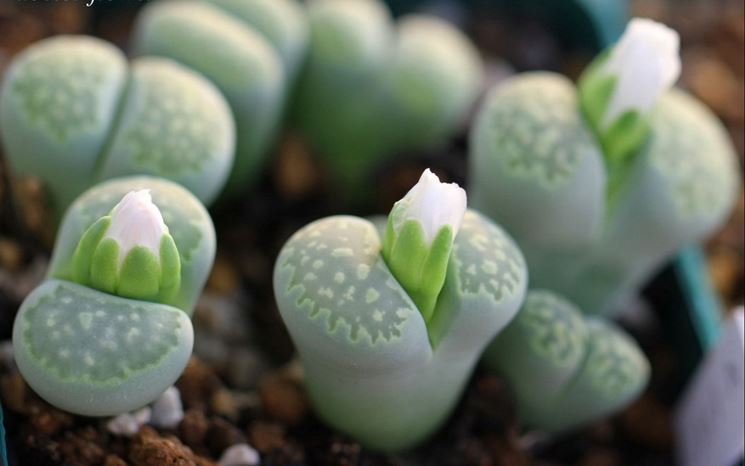 Curare piante grasse piante grasse le piante grasse da - Piante interno poca luce ...