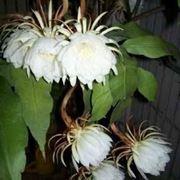 Pianta di Epiphyllum