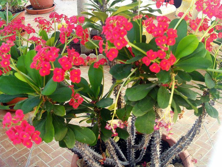 Esemplare di Euphorbia milii