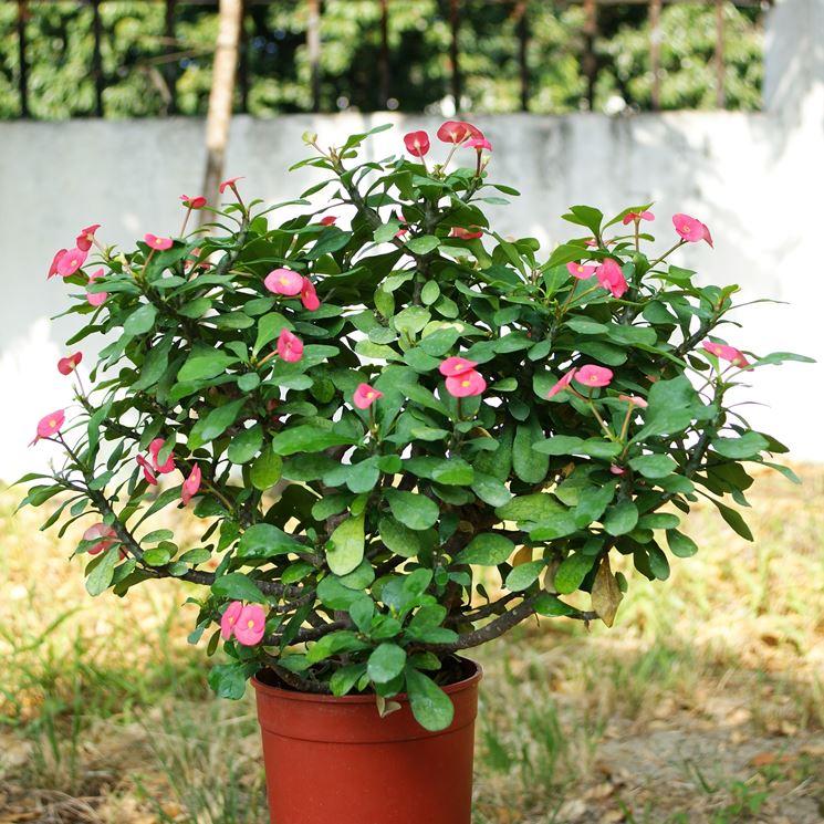 Euphorbia milii in vaso