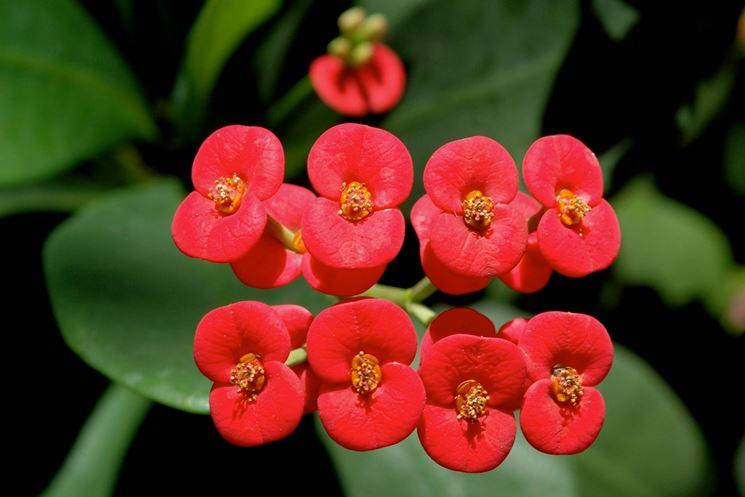 Dettaglio infiorescenze Euphorbia milii