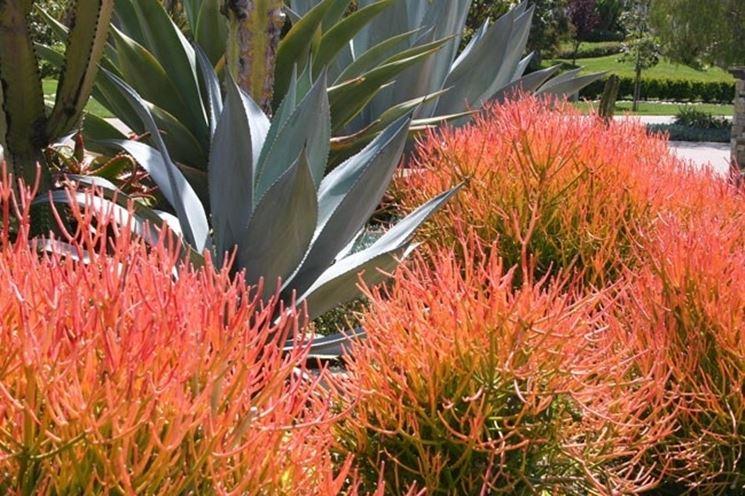 fiori di euphorbia tirucalli